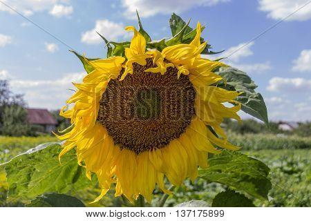 Sunflower field over cloudy blue sky. Sunflower, Sunflower blooming, Sunflower field