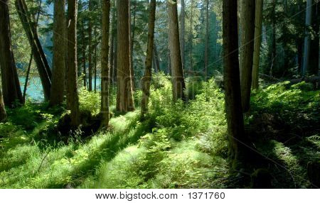 Forest In Garibaldi Park