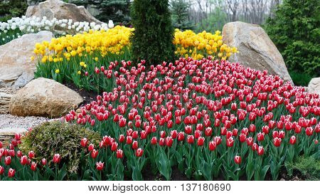 Beautiful two colored, red and white tulips flowerbed and stone rocks. Plenty of yellow flowers at background. Summer garden landscape design.