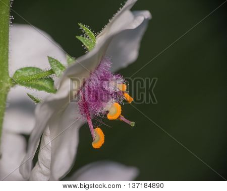 Moth Mullein wildflower blossom on a stem.