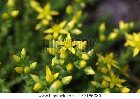 Flower of a goldmoss stonecrop (Sedum acre)