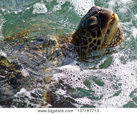 Maui Sea Turtle coming up for air