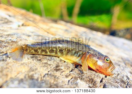 small caught grey gudgeon on the wooden surface