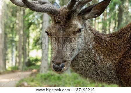 Portrait of majestic powerful adult red deer cervus elaphus in a forest in Sumava Bohemia Czech republic