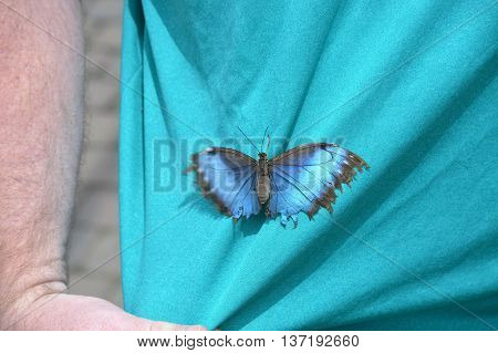 A blue butterfly clinging to a shirt