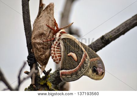 A moth recently hatched from it's cocoon