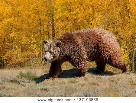 Grizzly bear with aspen trees in autumn