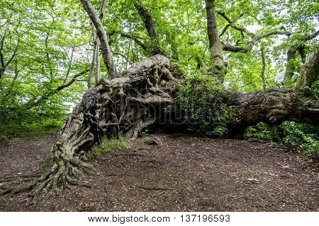 Exposed tangled roots of a large old fallen tree continuing to grow in Scottish woodland