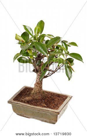 árbol de los bonsais en un bote aislado sobre fondo blanco