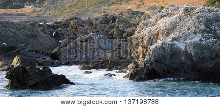 A seagull and New Zealand fur seal colony, Cape Palliser, New Zealand