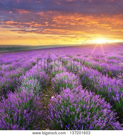 Meadow of lavender on sunrise. Nature composition.