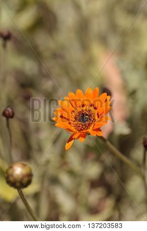 Orange cosmos daisy, Cosmos sulphureus, flower bud blooms in a garden in summer.