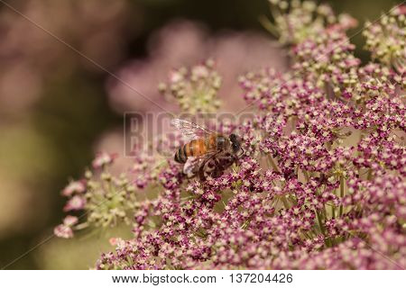 Honeybee, Apis mellifera, gathers pollen on a flower in spring in Southern California, United States.