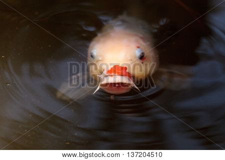 Koi fish, Cyprinus carpio haematopterus, eating in a koi pond in Japan