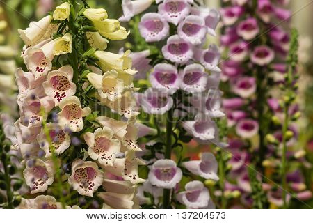 closeup of pink and yellow foxglove flowers