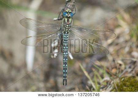 Hairy Hawker (Brachytron pratense) male resting on a Branch