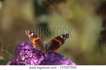 Brown and red admiral butterfly Vanessa atalanta on a flower in summer in Southern California
