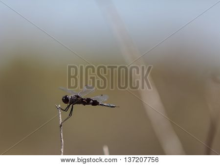 Black saddlebags dragonfly Tramea lacerate is a skimmer dragonfly found near stagnant water and will eat mosquitos.