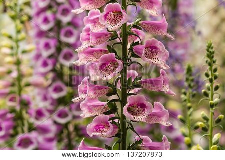 close up of foxglove flowers in bloom