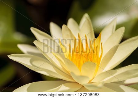 Water lily flower on top of a koi pond in Southern California