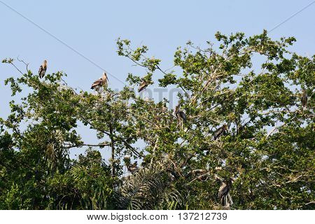 Painted stork on a tree, Painted storks perched on tree top