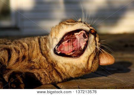tabby cat big yawn snarl meow feline