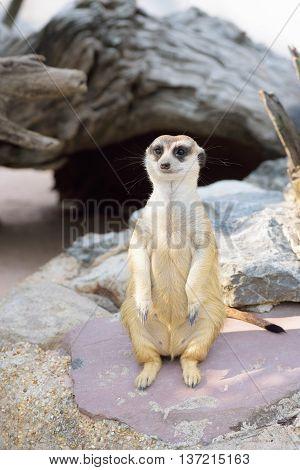 meerkat looking for the sky in the open zoo
