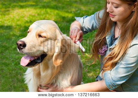 The content of Labrador. A young girl cares for dog fur outdoors. The owner of a pure breed dog fur golden retriever. Human friendship and dogs. Hygienic procedures.