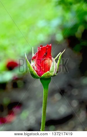 Rose The Bud Of Red