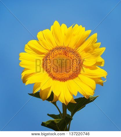 Sunflower against brightly blue sky in summer
