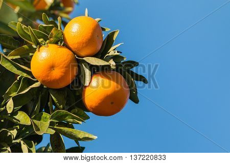 ripe satsumas on tree against blue sky