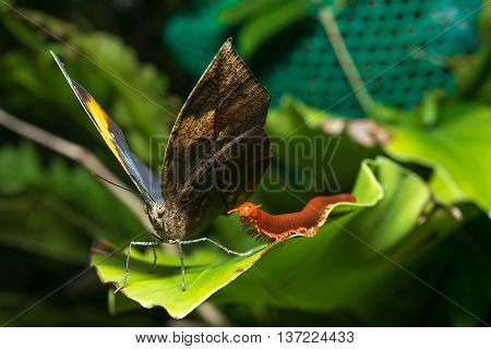 leaf butterfly (Kallima inachus) , macro photograph, wildlife animal