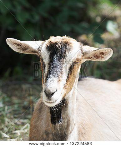 Goat summer outdoor portrait over blurry background