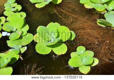 Green duckweed on the water in asia