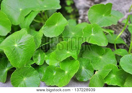 Green pennywort in a bush in asia