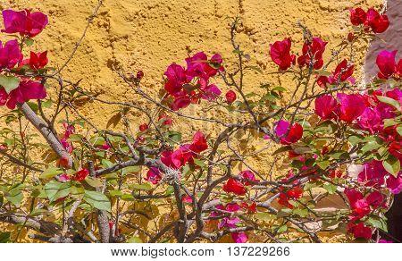 Yellow Wall Pink Bougainvillea San Miguel de Allende Mexico