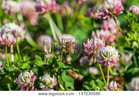 A digger bee feeding on an alsike clover flower