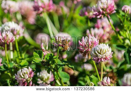 A digger bee feeding on an alsike clover flower