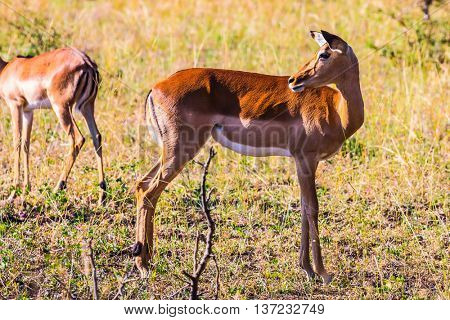 Family graceful impala posing in sunlight sunset. Sunny day in the Kruger National Park, South Africa