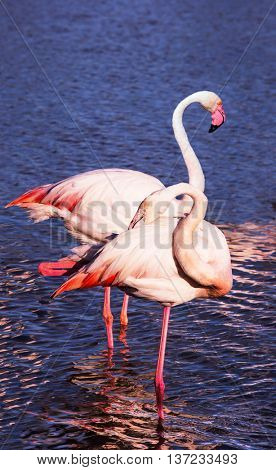 Summer evening in the Camargue national park. Rhone Delta, Provence. Pair of graceful pink flamingos