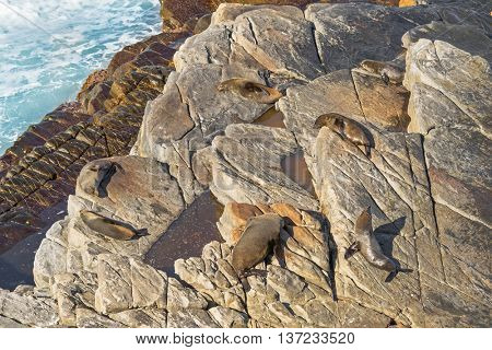 A group of New Zealand fur seals sunbathing on Colony rocks near the ocean at Admirals Arch, coast of Kangaroo Island, South Australia