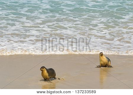 Sea lions walking back to the seashore after swimming at Seal Bay, their colony on south coast of Kangaroo Island, South Australia