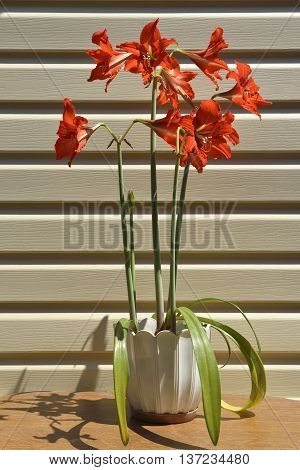 Many bright scarlet Hippeastrum (Amaryllis) flowers on cluster of erect hollow flower stems in white pot are in bright light of sun.