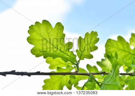 Fresh green oak leaves on a branch with copy space and blue, cloudy sky. Close-up of green leaves in springtime with selective focus on the foreground. Nature background.