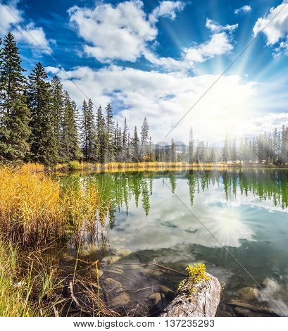 The small superficial lake is surrounded with a coniferous forest and turned yellow bush. Sunny autumn day in Jasper National Park  in Canada