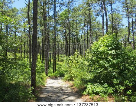 Dirt path through a forest of tall pine trees