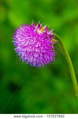 thistle. pink milk thistle flower in bloom in spring. Single Thistle Flower in Bloom in the field. Pink thistle flower