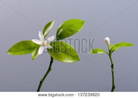 Beautiful Tangerine Mandarin Flower On Gray Background.