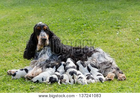 Purebred English Cocker Spaniel With Puppy