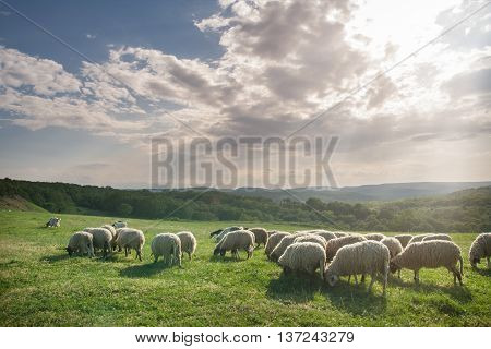 Flock of sheep grazing on beautiful mountain meadow